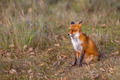 Red fox in natural invironment - PhotoDune Item for Sale