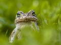 Daring Green toad in Grass - PhotoDune Item for Sale