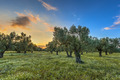 Olive grove at sunset - PhotoDune Item for Sale