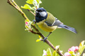 Great tit feeding young - PhotoDune Item for Sale
