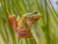 Green European tree frog preparing for a leap - PhotoDune Item for Sale
