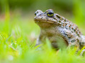 Green toad sitting in Grass - PhotoDune Item for Sale