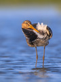 Black tailed Godwit cleaning tail - PhotoDune Item for Sale