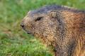 Alpine marmot portrait - PhotoDune Item for Sale