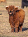 Full resolution Portrait of a Highland cattle calf - PhotoDune Item for Sale