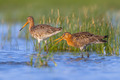 Pair of Black tailed Godwit - PhotoDune Item for Sale