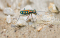 Extreme Closeup of a Brightly Colored Tiger Beetle in the Wild - PhotoDune Item for Sale