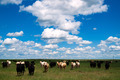 Cows Come When Called Beautiful Day Ranch Livestock - PhotoDune Item for Sale