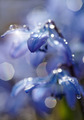 Defocused background with spring blue flowers - a Scilla Siberica - PhotoDune Item for Sale