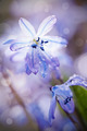 Spring blue flowers close up - a Scilla Siberica - PhotoDune Item for Sale