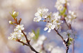 Spring blossoming of cherry. - PhotoDune Item for Sale