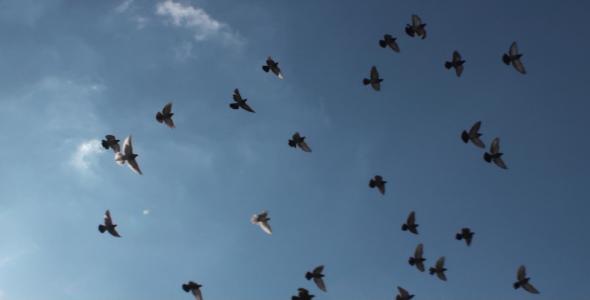 Flock Of Birds HD