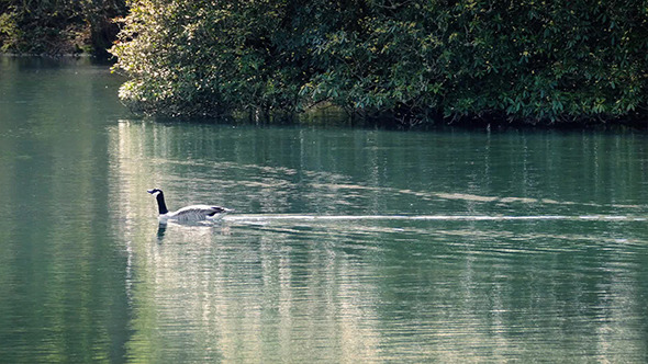 VideoHive Goose Swims Across Sunny Lake 11319809