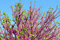 tree of judas - PhotoDune Item for Sale
