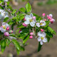 Blossoming branch of a apple tree - PhotoDune Item for Sale
