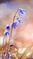 Blue snowdrop - PhotoDune Item for Sale
