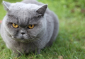 Cat British Shorthair named Tais Queen - PhotoDune Item for Sale