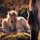 White Horse Foal Lying Near Mother - VideoHive Item for Sale