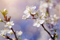 Cherry branches with flowers in sunny spring day. - PhotoDune Item for Sale