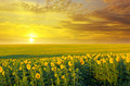 field of sunflowers and sunrise - PhotoDune Item for Sale