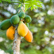Yellow and green Mango fruits hanging from the tree - PhotoDune Item for Sale
