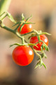 Tomato on Trees - PhotoDune Item for Sale