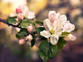 Branch with blossoming apple flowers close-up - PhotoDune Item for Sale