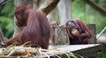 Adult orangutan sitting with sad and thoughtful face - PhotoDune Item for Sale