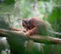 Adult orangutan sitting deep in thoughts - PhotoDune Item for Sale