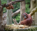 Tired mother orangutang sleeping while its baby playing around - PhotoDune Item for Sale