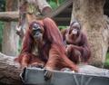 Adult orangutans - PhotoDune Item for Sale