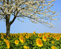 Blooming cherry tree in sunflower field.  - PhotoDune Item for Sale