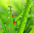 Fresh morning dew and ladybirds - PhotoDune Item for Sale