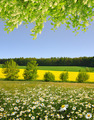 Spring landscape with field of marguerites - PhotoDune Item for Sale