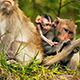 Monkey with Baby 04 - VideoHive Item for Sale