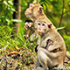 Monkey with Baby 03 - VideoHive Item for Sale