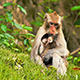 Monkey with Baby 01 - VideoHive Item for Sale