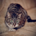 Gray striped cat with green eyes. - PhotoDune Item for Sale