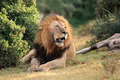 African lion with prey - PhotoDune Item for Sale