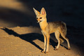 Cape fox - PhotoDune Item for Sale