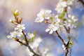 Flowers of cherry. - PhotoDune Item for Sale