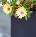 yellow daisy - PhotoDune Item for Sale