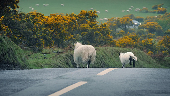 VideoHive Sheep Leads Lamb Across Road In The Country 11350635