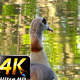 Duck Near the Green Lake in Nature 4 - VideoHive Item for Sale