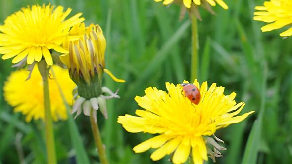 Ladybug Among Green Grass & flower