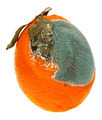A moldy orange on a white background - PhotoDune Item for Sale