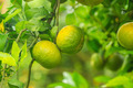 young orange groves - PhotoDune Item for Sale
