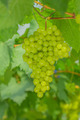 fresh and young green grapes - PhotoDune Item for Sale