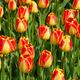 Shiny tulips - PhotoDune Item for Sale