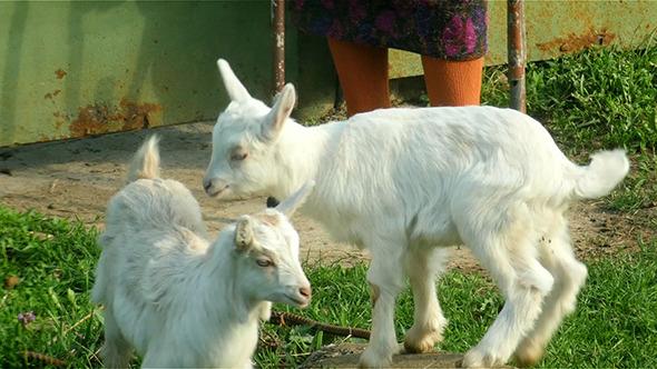 Senior Woman Walking A Goat